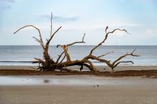 Dead Trees On Driftwood Beach ...