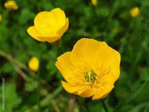 Yellow flowers of Ranunculus acris on green grass background on sunny day Canvas Print