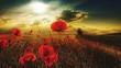Leinwandbild Motiv Red Poppy Flowers Blooming On Field During Sunset