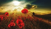 Red Poppy Flowers Blooming On Field During Sunset