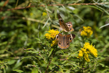 Two Common Buckeye Butterflies Feeding On A Yellow Goldenrod Flower.