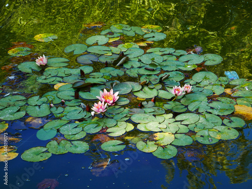Photo Waterlilies like a canvas of Monet.