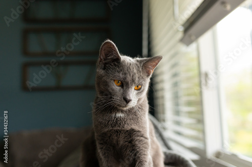 Young gray cat sitting by window.