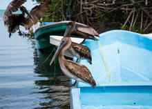 Pelicans Lined Up
