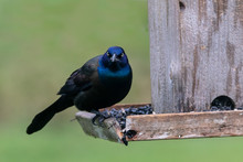 Black And Blue Grackle On Feed...