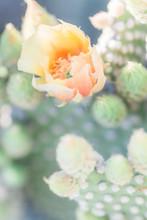 Prickly Pear In Orange Bloom