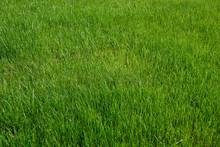 Tall Grass Lawn As A Vibrant G...