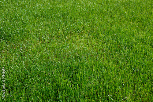 Fototapeta Tall grass lawn as a vibrant green nature background