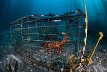 A California Spiny Lobster, Pa...