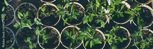 Fotografie, Tablou home seedling tomato garden young tomato plants growing out of soil