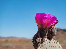 Bright Pink Beavertail Cactus ...