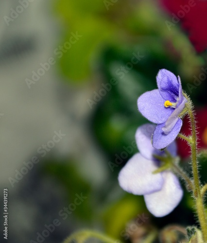 Background with purple Viola or Violet flower with leaves. Copy space