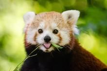 Close-up Portrait Of Red Panda