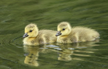 Two Cute Canada Geese Goslings...
