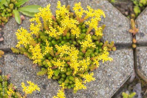 Photo yellow blooming stonecrop. Latin name Sedum Acre