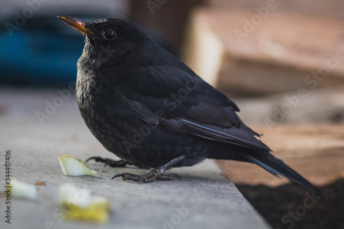 A blackbird sitting on a concrete shelf and looking towards the camera Wallpaper Mural