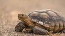 A Desert Tortoise In The Mojave Desert Near Baker California, Gopherus Agassizii.