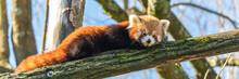 Red Panda, Ailurus Fulgens, Portrait Of A Cute Animal