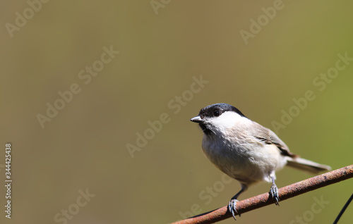 A black-eyed willow tit sits on a branch on a blurred yellow-green background Fototapet