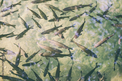 Canvas Print Flock of fish in the river of Croatia national park.