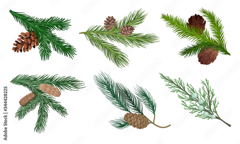 Fototapeta Pine and Fir Tree Branches with Fir Cones Vector Set