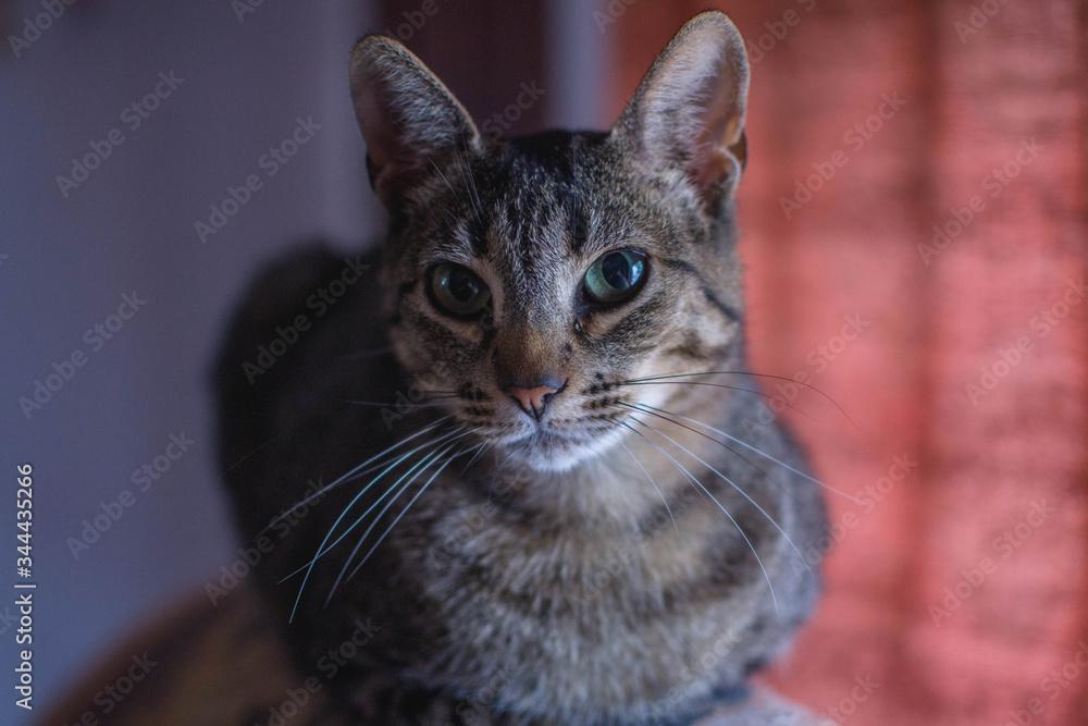Fototapeta Felino, gato, mirada felina