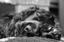 Cocker Spaniel Puppy Sleeping