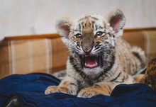 Photo Of A Yawning Tiger Cub L...
