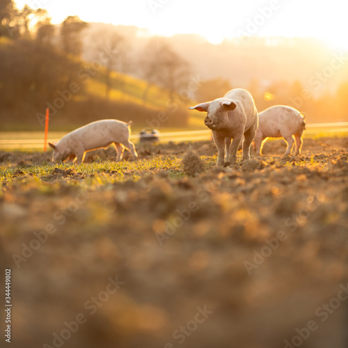 Pigs eating on a meadow in an organic meat farm - wide angle lens shot - 344449802