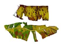 Dried Banana Leaf On White Background Illustration Vector