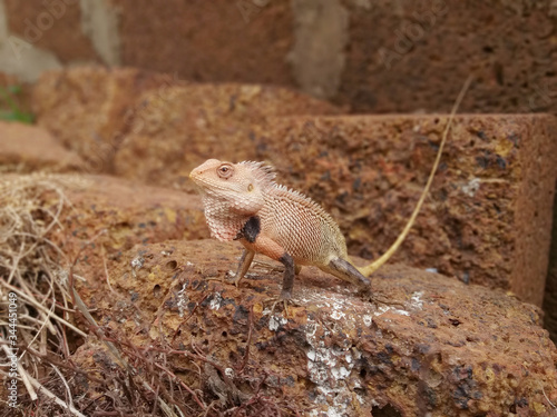INDIAN AGAMA Wallpaper Mural