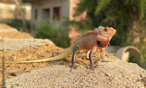 Photo INDIAN AGAMA