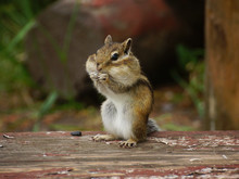 Chipmunk Stands On Its Hind Legs