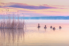 Canada Geese Swimming On Lake ...
