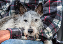 Old Jack Russell Dog Resting On His Owner's Lap