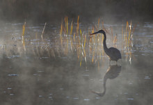 Great Blue Heron With Reflection Hunts On A Foggy Lake With Reeds In Algonquin Park, Canada