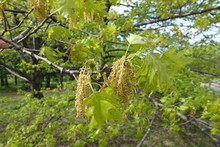 Catkins And Young Leaves Of Red Oak In May