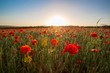 poppy fields on a warm sunny evening