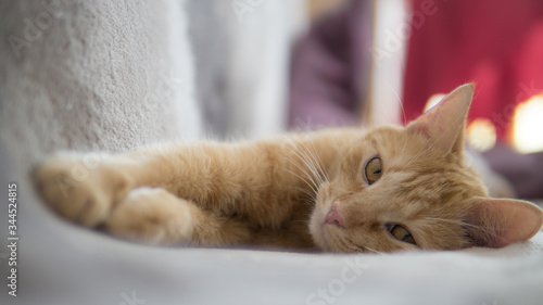 Fototapeta Kot wyleguje się na kanapie. obraz