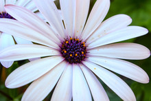 Closeup Of White Daisy With Pu...