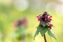 Beautiful Flowering Lamium Purpureum In Forest For Natural Background