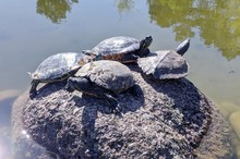 Four Turtles At Rest On A Rock In A Pond