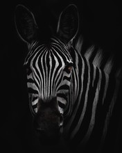 Zebra Head Big Hd - BW