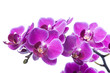 canvas print picture - Beautiful bouquet of magenta orchid flowers. Bunch of luxury tropical purple orchids - phalaenopsis - isolated on white background. Studio shot