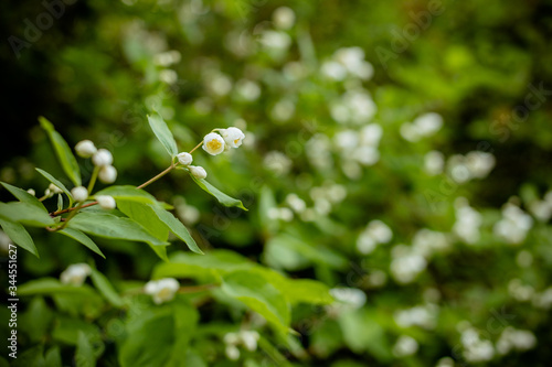 Photo branch with white blooming jasmine flowers on a background of green leaves