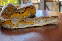 Head Python Yellow Pattern On ...