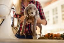 Woman Holding A Weimaraner Pup...
