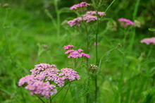 Photo Of Wild Pink Yarrow On A...
