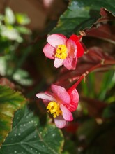 Bright Pink Red Blooming Begonia Cucullata In The Garden.  Two Small Red Flowers With Yellow Stamens With Leaves. Close Up, Macro View. Concept Beautiful Picture Of Houseplant Begonia. Flowering