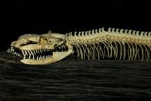 Close Up Head Bone Snake For Pattern Bone Snake On Black Background